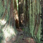 Redwoods and moss